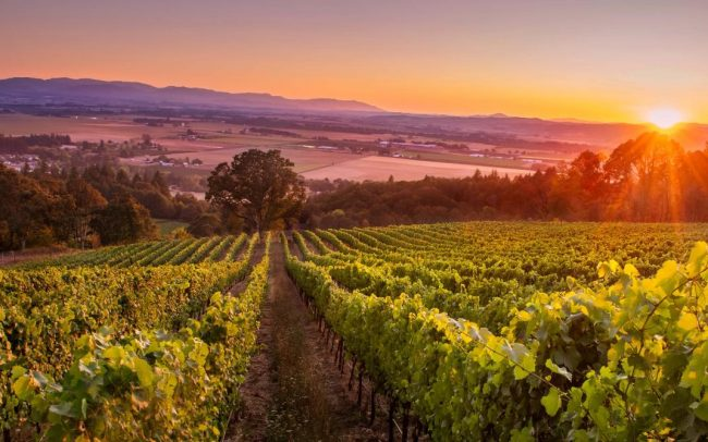 Sunrise over vineyards