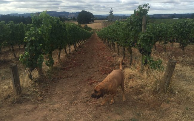 Dog exploring in the vineyard