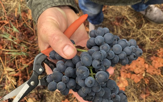 Clusters of red grapes in hand with picking shears